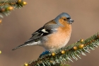 Chaffinch by Romano da Costa