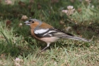 Chaffinch by Mick Dryden