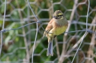 Cirl Bunting by Miranda Collett