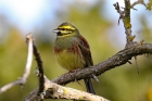 Cirl Bunting by Alan Modral