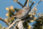 Dunnock by Mick Dryden