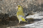Greenfinch by Mick Dryden