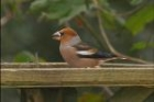Hawfinch by Duncan Wilson