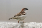 House Sparrow by Mick Dryden
