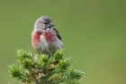 Linnet by Romano da Costa