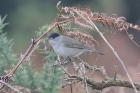 Blackcap by Mick Dryden