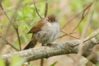 Cetti's Warbler by Mick Dryden