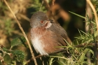 Dartford Warbler by Mick Dryden