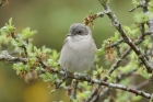 Lesser Whitethroat by Mick Dryden