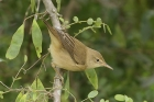 Marsh Warbler by Mick Dryden