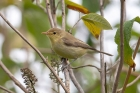 Melodious Warbler by Chris Stamper