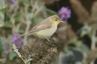 Melodious Warbler by Mick Dryden