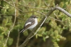 Pied Flycatcher by Mick Dryden
