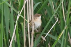Reed Warbler by Mick Dryden