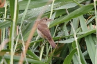 Reed Warbler by Roy Filleul