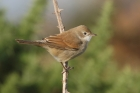 Whitethroat by Mick Dryden