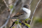 Whitethroat by Romano da Costa