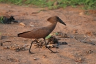 Hamerkop by Tony Paintin