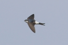 House Martin by Mick Dryden