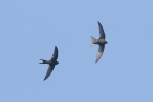 Swifts by Mick Dryden