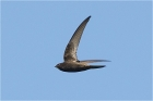 Common Swift by Trevor Biddle