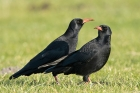 Red-billed Chough by Romano da Costa