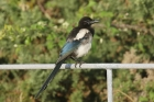 Magpie by Mick Dryden