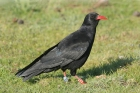 Red-billed Chough by Mick Dryden