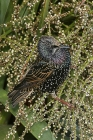 Starling by Mick Dryden