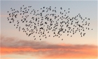 Starlings over St Helier by Chris Eve