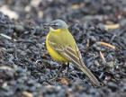 Blue-headed Wagtail by Tim Ransom