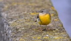 Grey Wagtail by Tony Wright