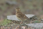 Skylark by Mick Dryden