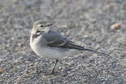 White Wagtail by Mick Dryden