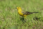 Yellow Wagtail by Romano da Costa