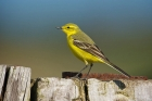 Yellow Wagtail by Paul Marshall