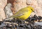 Yellow Wagtail by Tim Ransom