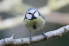 Blue Tit by Mick Dryden