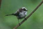 Long-tailed Tit by Mick Dryden