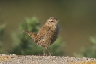 Wren by Mick Dryden