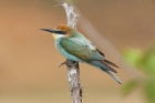 European Bee Eater by Mick Dryden