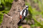 Great Spotted Woodpecker by Miranda Collett