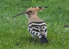 Hoopoe by Roger Quenault