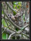 Lesser Spotted Woodpecker by Regis Perdriat