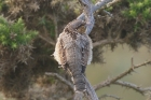Wryneck by Mick Dryden