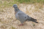 Stock Dove by Mick Dryden