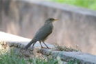 African Thrush by Tony Paintin