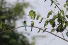 Swallow-tailed Bee-eaters by Tony Paintin