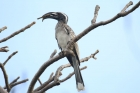 African Grey Hornbill by Tony Paintin