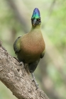 Purple crested Turaco by Mick Dryden